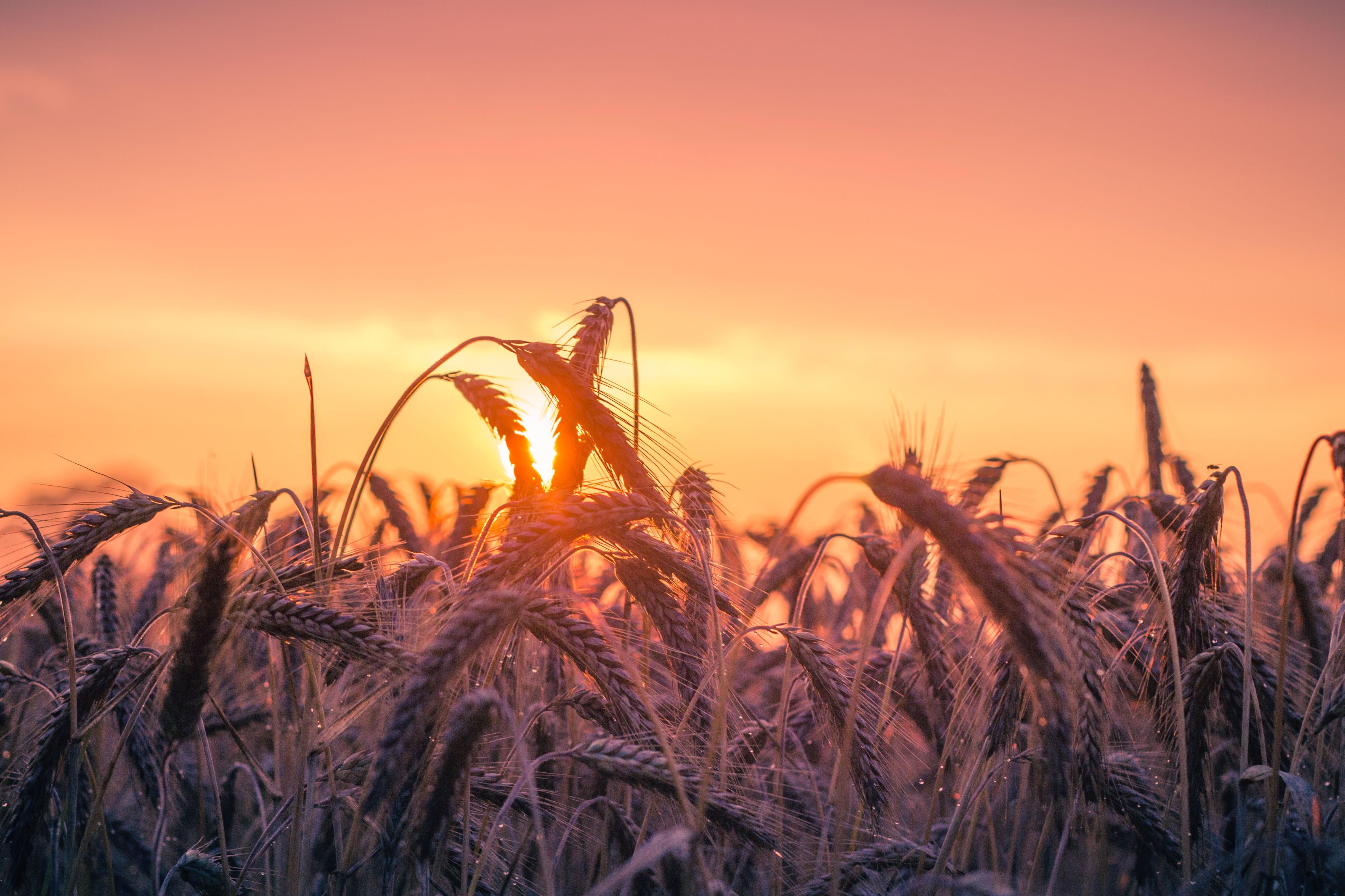 abendstimmung-agriculture-back-light-cereal-533982